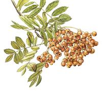 Watercolor with Mountain Ash - stock illustration