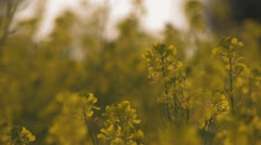 Flowerfield at sunset Stock Footage