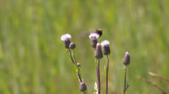 Bumblebee on a thistle - stock footage