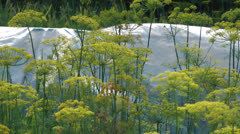 Fennel. Stock Footage