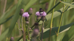 Bumblebee on thistle flies off - stock footage