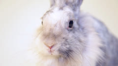 Grey rabbit on a white background - stock footage