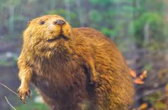 Beaver sitting on dam Stock Photos
