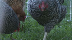 Chickens pecking Stock Footage