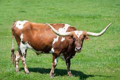A longhorn bull Stock Photos