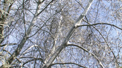 Tree covered with silver silk web of Ermine moth larvae 02 Stock Footage