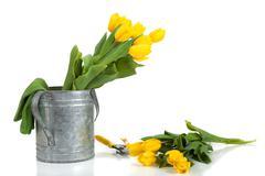 fresh yellow tulips - stock photo