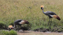 Crown Crested Cranes Stock Footage