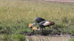 Crown Crested Cranes Eating from Mud Puddle - stock footage