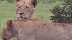Male and female Lion in the bush Stock Footage