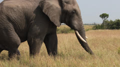 Closeup of Aroused Male Elephant Stock Footage