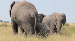 Aroused Male Elephant Following His Mate Stock Footage
