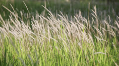Blown white flower grass  Stock Footage