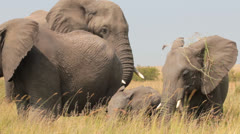 Aroused Male Elephant in Hot Pursuit of His Female Stock Footage