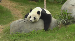 Panda is resting. Hong Kong Ocean Park Zoo . Stock Footage