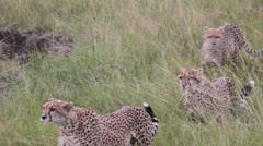 Three Cheetas on Prowl - stock footage