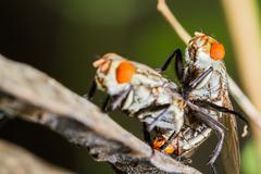 flies mating - stock photo