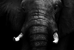 artistic black and white elephant - stock photo