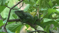 Iguana alertly sits on a Noni tree branch. Stock Footage