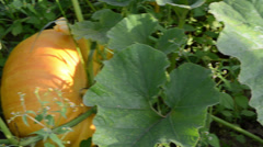 Pumpkin vegetable fruit leaf grow surrounded weed in garden Stock Footage