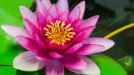 Stock Video Footage of Time lapse opening of water lily flower