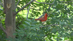 Northern Cardinal on a branch in summer Stock Footage
