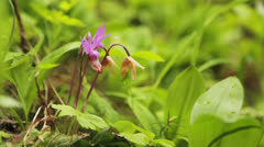 Calypso Orchid Close Up in Nature Stock Footage