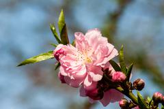 Blooming peach flower in spring Stock Photos