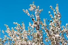Blooming  white flower tree Stock Photos