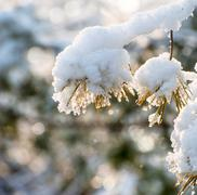 Stock Photo of close up of pine in the snow