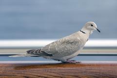 Mourning Dove bird on cruise ship rail Stock Photos