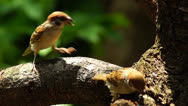 Stock Video Footage of Maya Bird Eurasian Tree Sparrow or Passer montanus