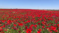 Red poppies field Stock Footage