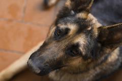 beautiful loyal german shepherd - stock photo