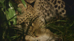 Jaguar lying in the shade Stock Footage
