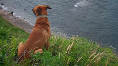 Red dog Stock Footage