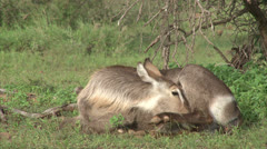 Female Waterbuck antelope is cleansing her fur Stock Footage