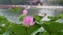 Lotus in pond,Houhai,Beijing Stock Footage