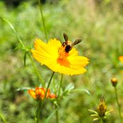 bee and cosmos flower - stock photo