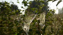 Summer end time dewy spider webs Stock Footage