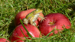 Green frog on red apple in summer end garden Stock Footage