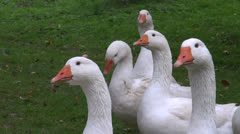 White domestic gooses walking in  farm garden Stock Footage