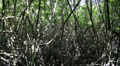 Mangrove Forest jungle center HD Footage