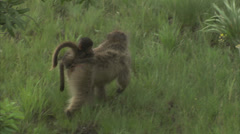 Handheld shot of a mother and baby baboon Stock Footage