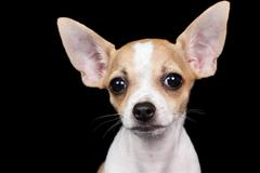 small chihuahua dog looking at the camera with a funny expressio - stock photo