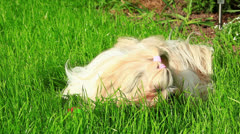 Shih tzu dog eating grass. Stock Footage