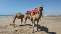 Camels on the beach in Asilah, Morocco - stock footage
