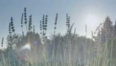 Lavender In The Sunshine At Sunset - 29,97FPS NTSC Stock Footage