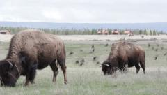Buffalo and Birds in the Grass Stock Footage