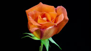 Stock Video Footage of orange rose flower blooming timelapse